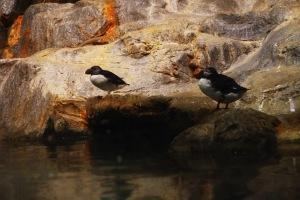 ini penguin pertama yang saya temui,, namanyaaa penguin...ummmm ga tau namanya apa ahahaha