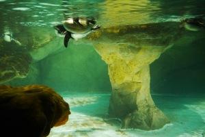 ini foto penguin berenang dari bawah aer,, bulat sekali yaaa seperti bola, lucuk