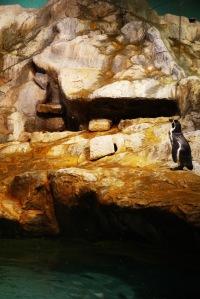 ada juga nih penguin yang menyendiri,,entah apa yang lagi di renungkan